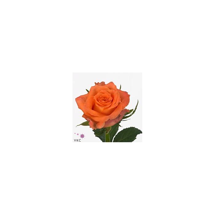 <h4>Rosa Gr. Julischka</h4>