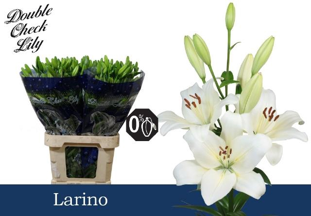 <h4>Lilium (LA-hybrids Grp) 'Larino'</h4>