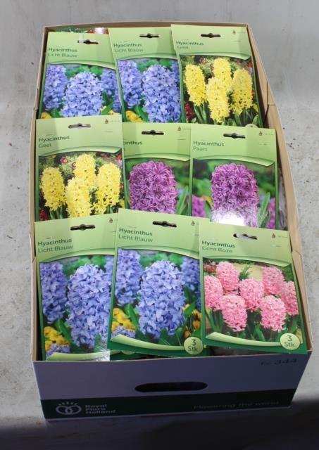 <h4>Hyacinthus   ...flowerbulbs</h4>