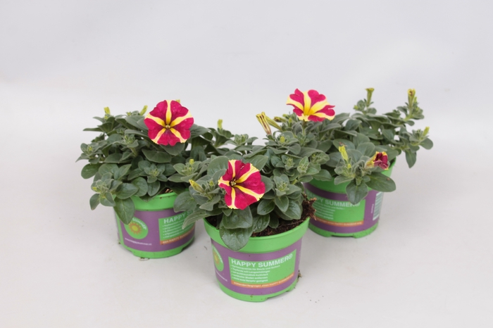 <h4>Petunia Amore Queen of Hearts</h4>