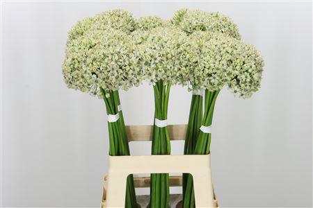 <h4>Allium Nigrum White</h4>