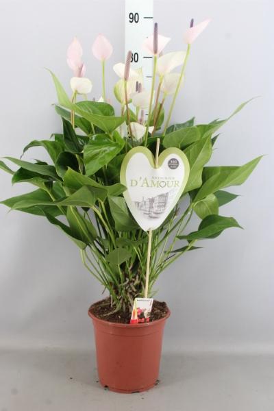 <h4>Anthurium  'Pr. Alexia Violet'</h4>
