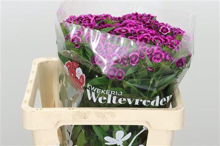 <h4>Di Barb Bicolor Purple</h4>
