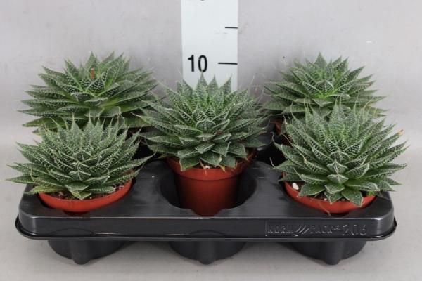 <h4>Aloe aristata 'Tabo'</h4>