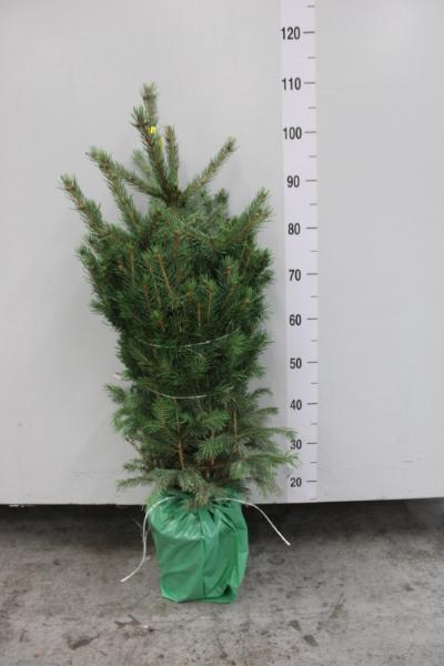 <h4>Picea pungens 'Glauca'</h4>