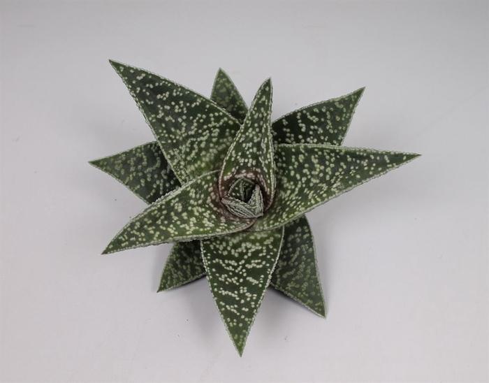 <h4>Aloe   ...</h4>