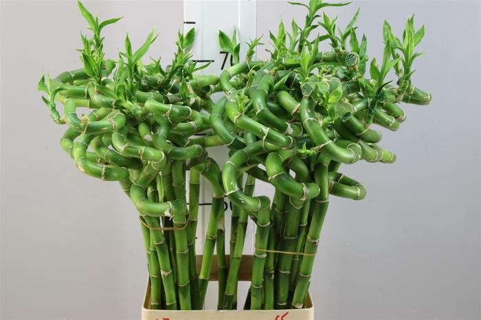 <h4>Lucky Bamboo Spiraal 70</h4>