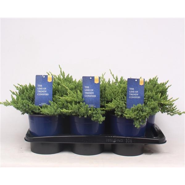 <h4>Juniperus pro. Nana</h4>