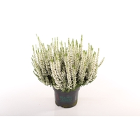 <h4>Calluna vulgaris Beauty Lady® Wit</h4>