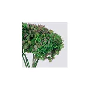 Hydrangea / Hortensia Nat.Green / Pink HRT/2140