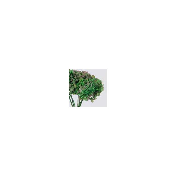 <h4>Hydrangea / Hortensia Nat.Green / Pink HRT/2140</h4>