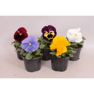 Viola wittrockiana F1 Royal Mixed