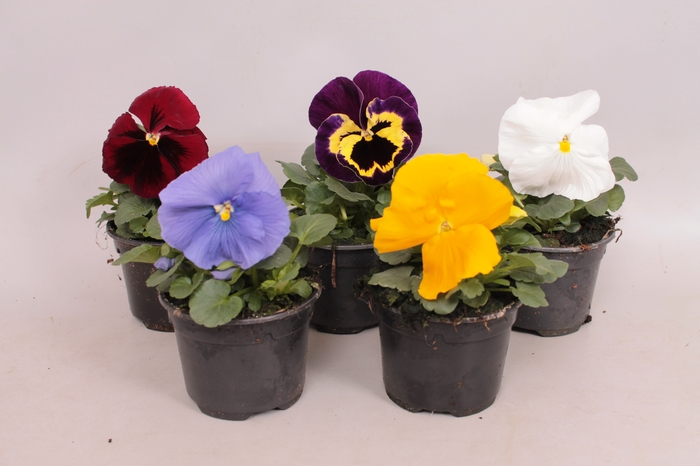 <h4>Viola wittrockiana F1 Royal Mixed</h4>