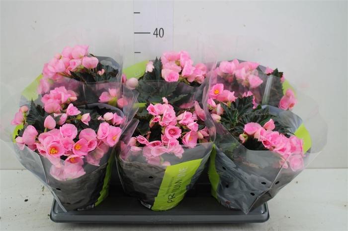 <h4>Begonia Du Licht Roze</h4>