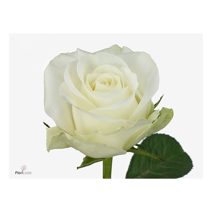 <h4>Rosa large flowered Countdown!</h4>