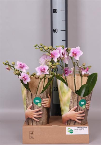 <h4>Phalaenopsis  'Ant Rotterdam'</h4>