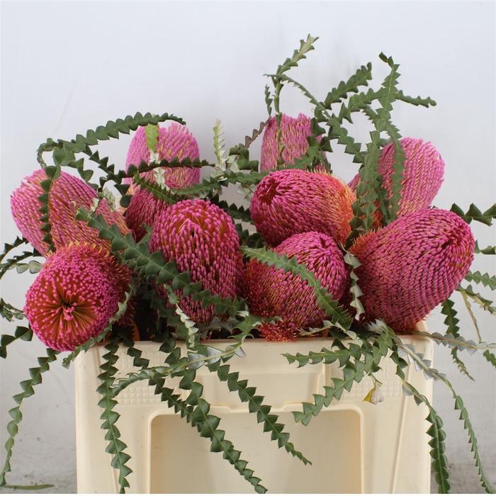 <h4>Banksia Speciosa Dusty Pink</h4>