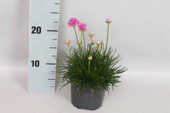 <h4>vaste planten 12 cm Armeria Maritima Rose</h4>