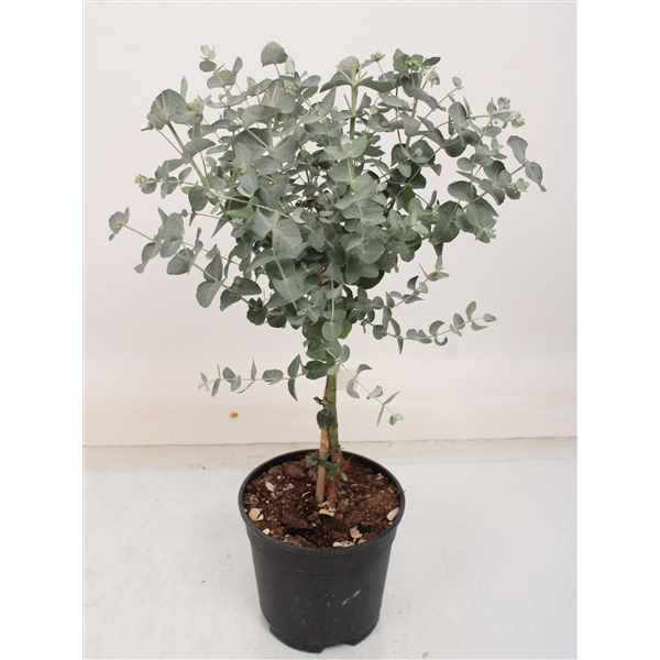 <h4>Eucalyptus gunnii op stam</h4>
