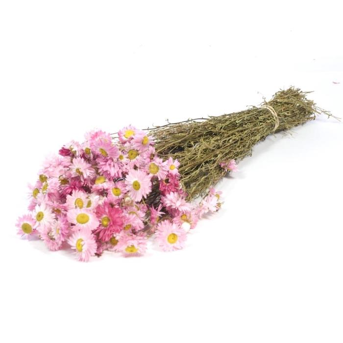 <h4>DRIED FLOWERS - ACROCLINIUM NAT. PINK</h4>