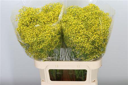 <h4>Gyps Xl Klb Yellow</h4>