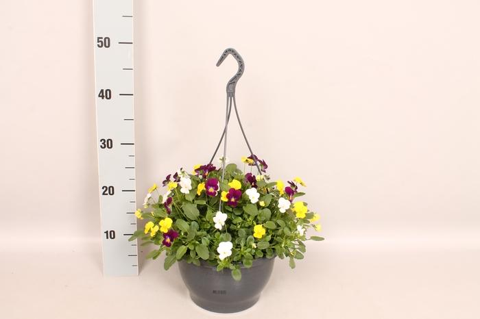 <h4>Hangpot 23 cm Viola cornuta white, yellow, purple</h4>