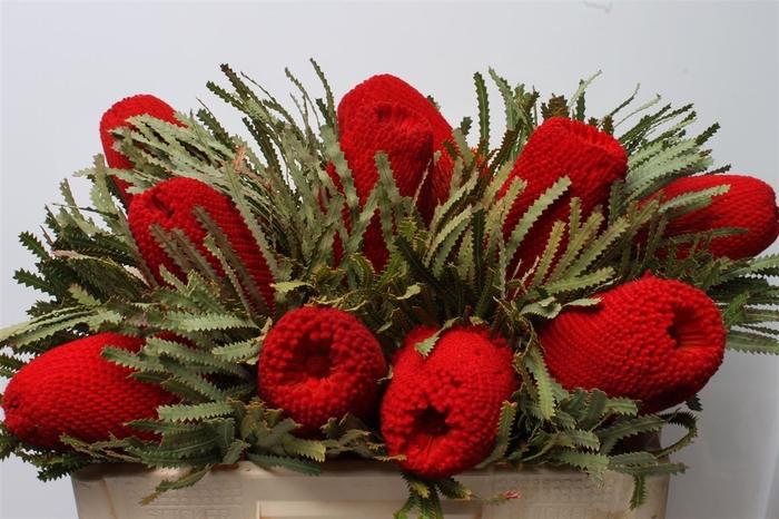 Banksia Hookeriana Red