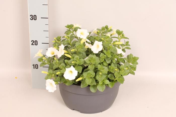 <h4>Schaal 26 Petunia White</h4>