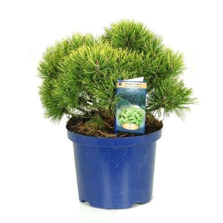 <h4>Pinus Mugo Ophir</h4>