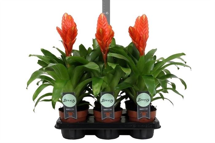 <h4>Vriesea  'Oberon'</h4>