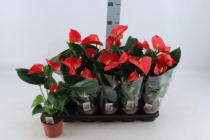 <h4>Anthurium andr.</h4>