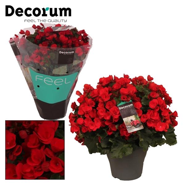 <h4>Begonia ''betulia'' red Decorum</h4>