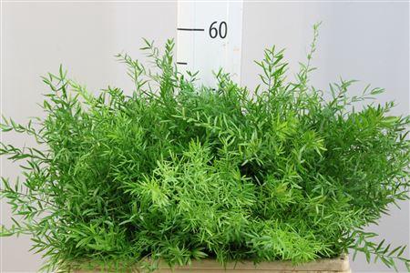 <h4>Asparagus Densiflor Cwebe 50</h4>