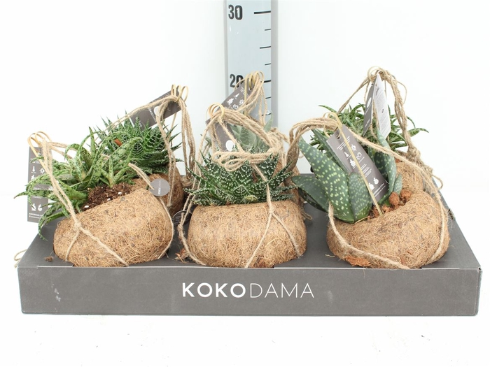 Kokodama Aloe Mix