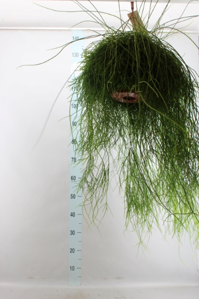 <h4>Rhipsalis cassutha</h4>
