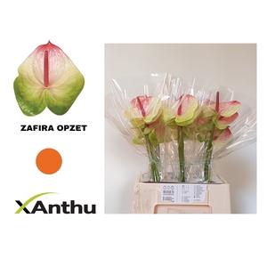 ANTH A ZAFIRA
