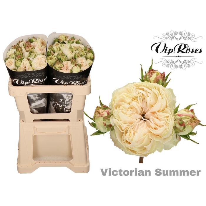 <h4>R TR VICTORIAN SUMMER</h4>