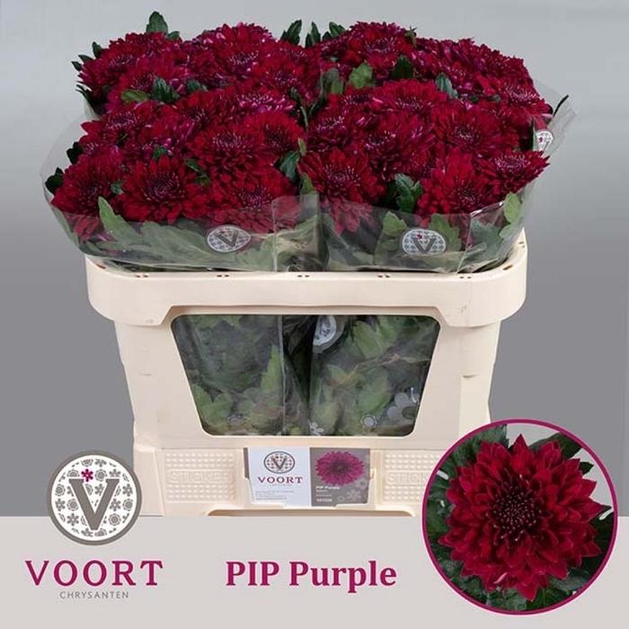 <h4>Chr G Pip Purple</h4>