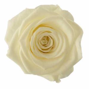 Rose Ines Pastel Yellow
