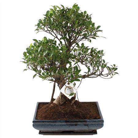 <h4>Bonsai A1352001fi Ficus Retusa Keramiek</h4>