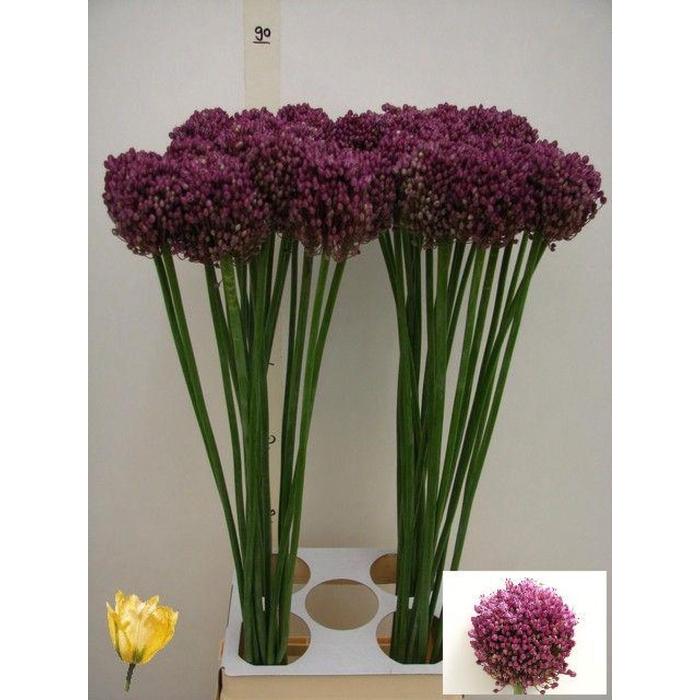 <h4>Allium Pink Lady</h4>