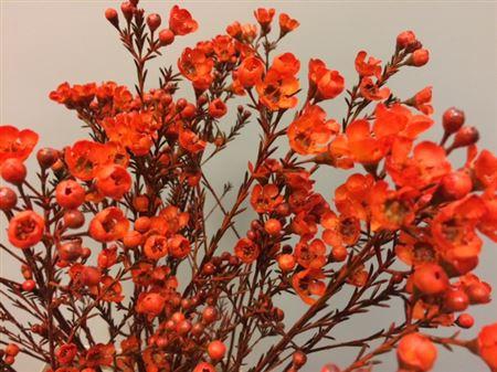 <h4>Wax Flower Orange</h4>