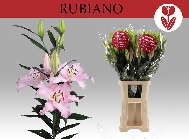 <h4>Li Or Rubiano</h4>