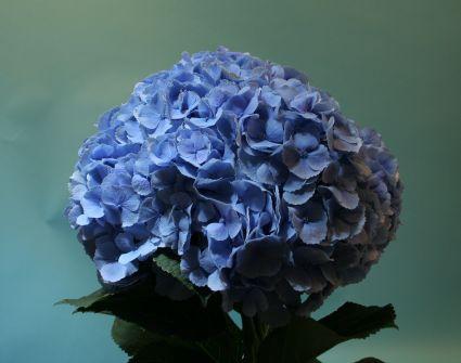 <h4>Hortensia Hyd. Homi Blue</h4>