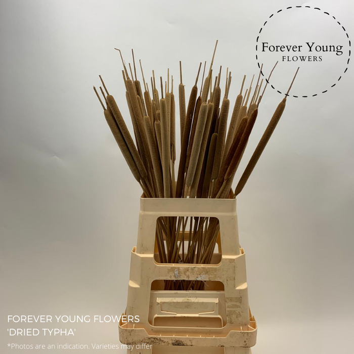 <h4>DRIED TYPHA</h4>
