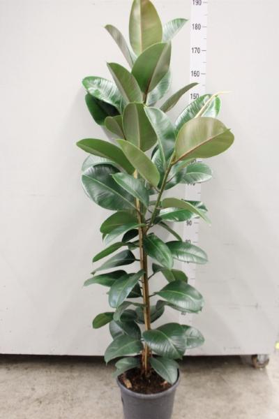 <h4>Ficus elastica 'Robusta'</h4>
