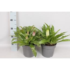 vaste planten 19 cm Eucomis Diverse