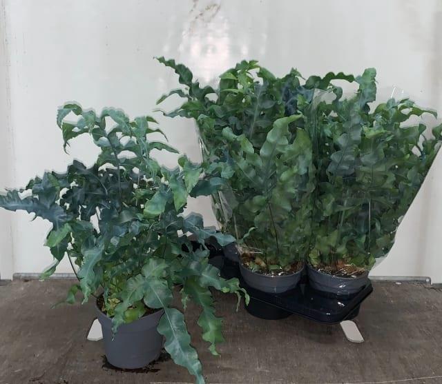 <h4>Phlebodium aureum Mandaianum 17Ø 45cm</h4>