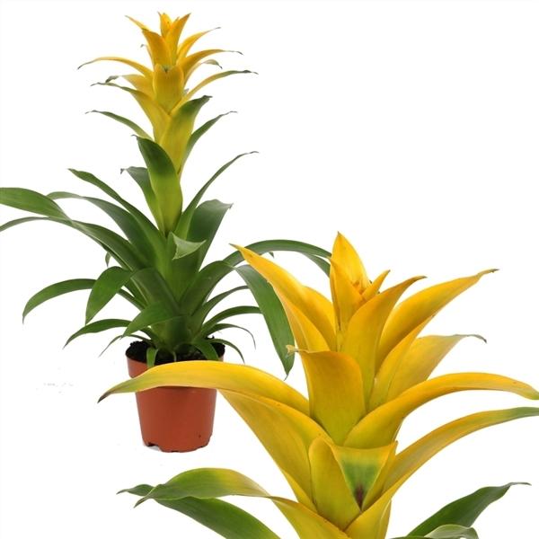 <h4>Guzmania deseo yellow</h4>