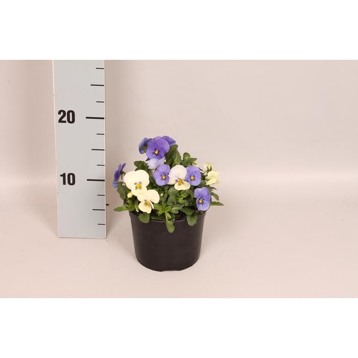 <h4>Viola Cornuta Trio Athene wit/licht blauw/blauw</h4>